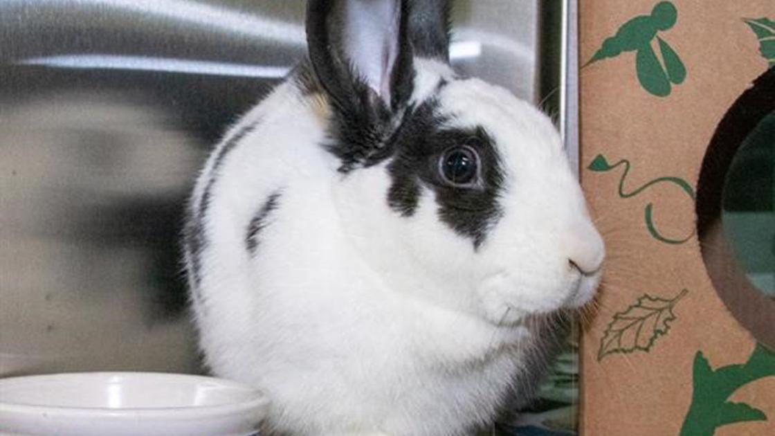 Meet our pets of the week: Two rabbits and a chicken - STLtoday.com